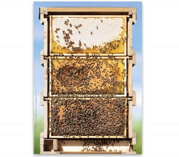 Poster: Motiv Bienen-Beute, Querschnitt in Originalgröße